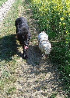 big black dog walking next to small white dog with brown spots in fields
