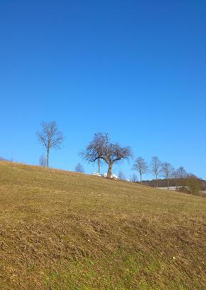 row of trees in a field under a blue sky
