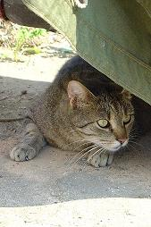 cat hiding under cover